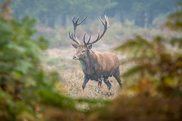 Picture of Red Deer Stag Located a few minutes from the Bed and Breakfast in the New Forest National Park