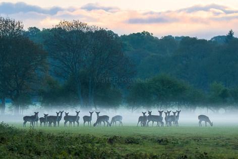 Fallow deer under a blanket of mist