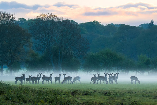 Fallow deer under a blanket of mist
