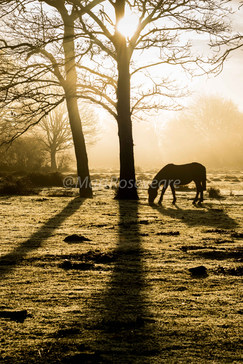 Grazing pony at first light