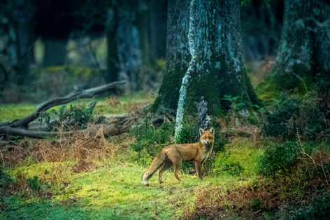 New Forest fox
