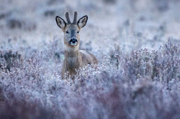 Roe deer in the frost