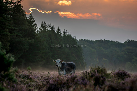 Cow at first light