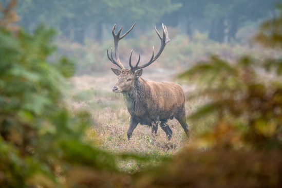 Red Deer in early autumn
