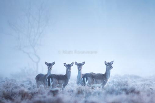 Fallow deer in sunrise mist