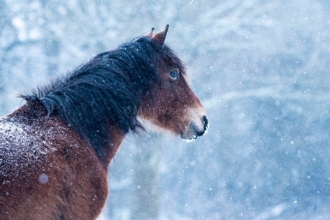 New Forest Pony in falling snow