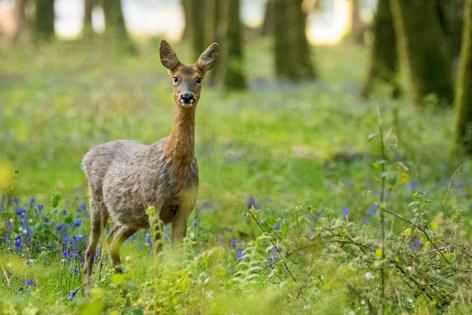 Roe deer in spring woodland