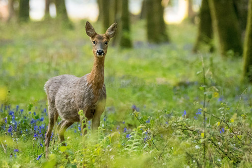 Roe deer in spring woodland