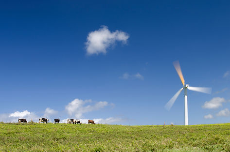 Cows grazing next to a wind turbine.jpg