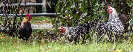 chickens-6960.jpg