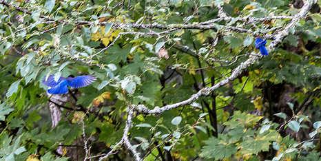 blue birds-.jpg