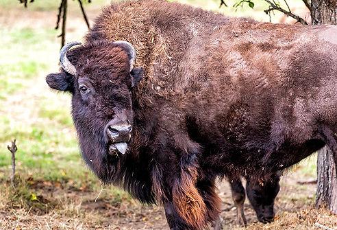bull 1-.jpg