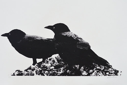 Crows at Cape Banks