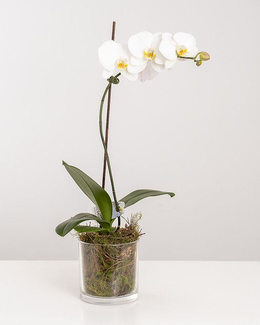 POTTED PHALY PLANT
