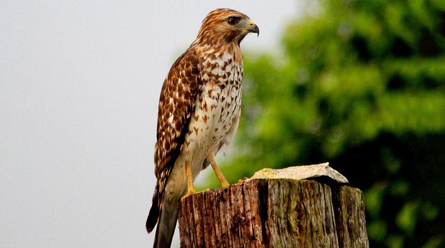 Red-shoulderd-hawk-juvenile.jpg