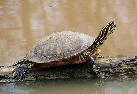 Florida_Redbelly_Turtle.jpg