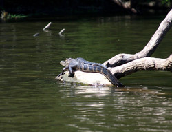 gator on log.jpg