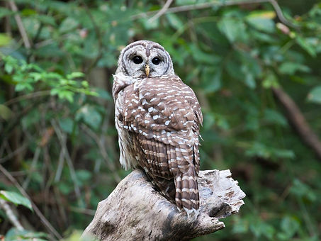 barred owl hd.jpg