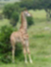 Baby giraffe.jpeg