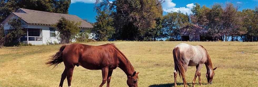 Texas Quarter Horses out for a morning graze