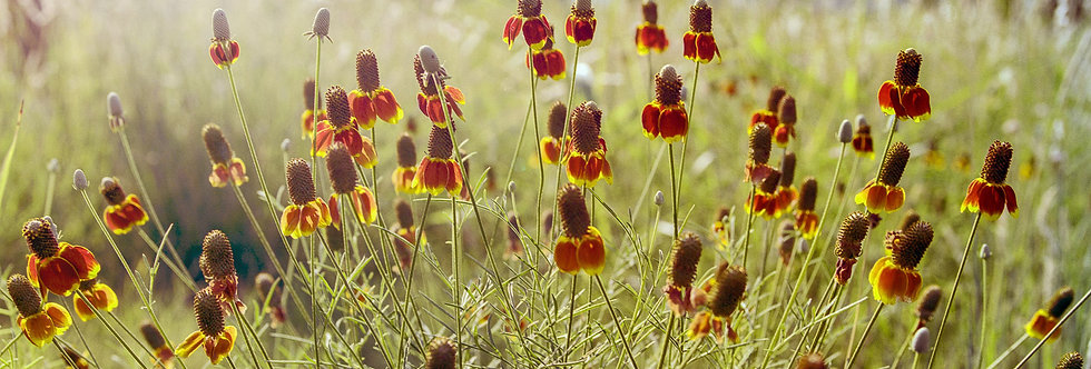Mexican hat flower and the sun rising behind the trees