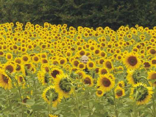 Sunflower fields