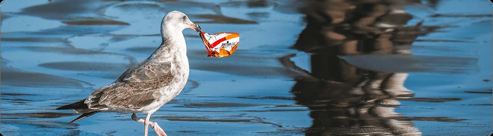 photo de mouette qui ramasse un déchet