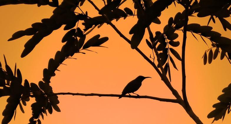 Sunbird in sunset