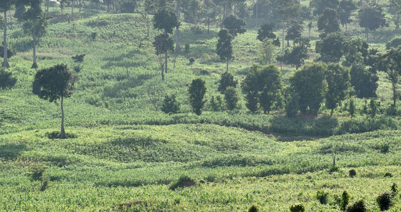 Maize intercropping in Forest Reserve Tain II