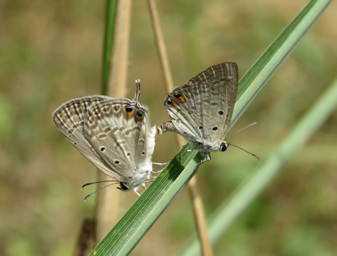 Lycaenidae species