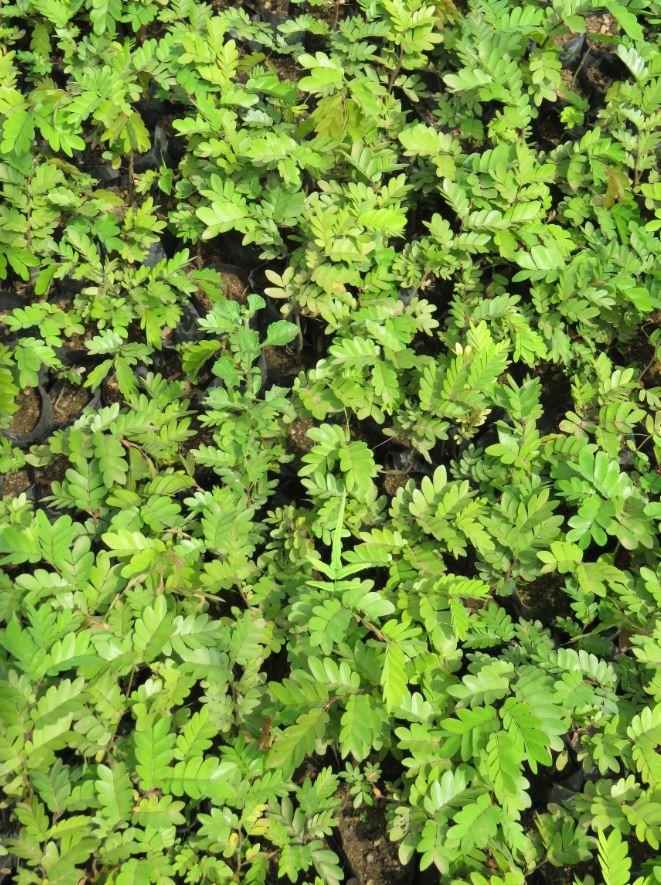 Tree nursery at Akumadan