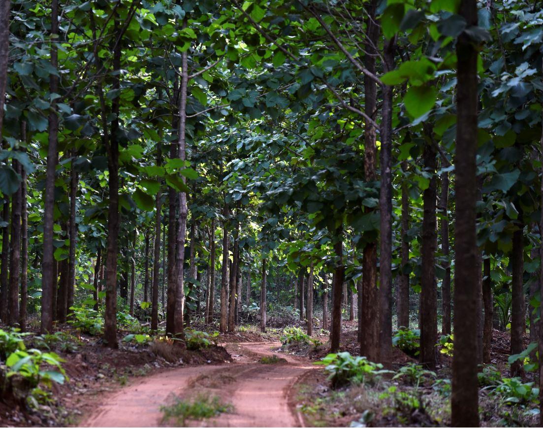 Commercial teak plantation at Akumadan