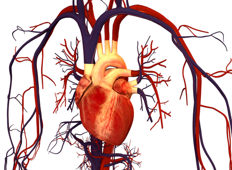 Massage and the Circulatory System