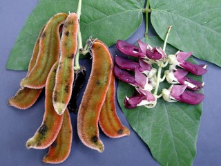 Boost Your Mood With Magical Mucuna