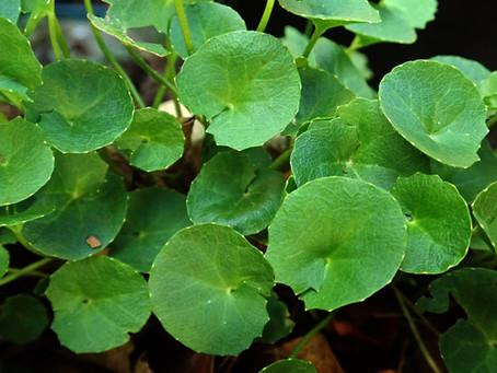 Gotu Kola~ A Powerhouse Herb To Supercharge Your Health