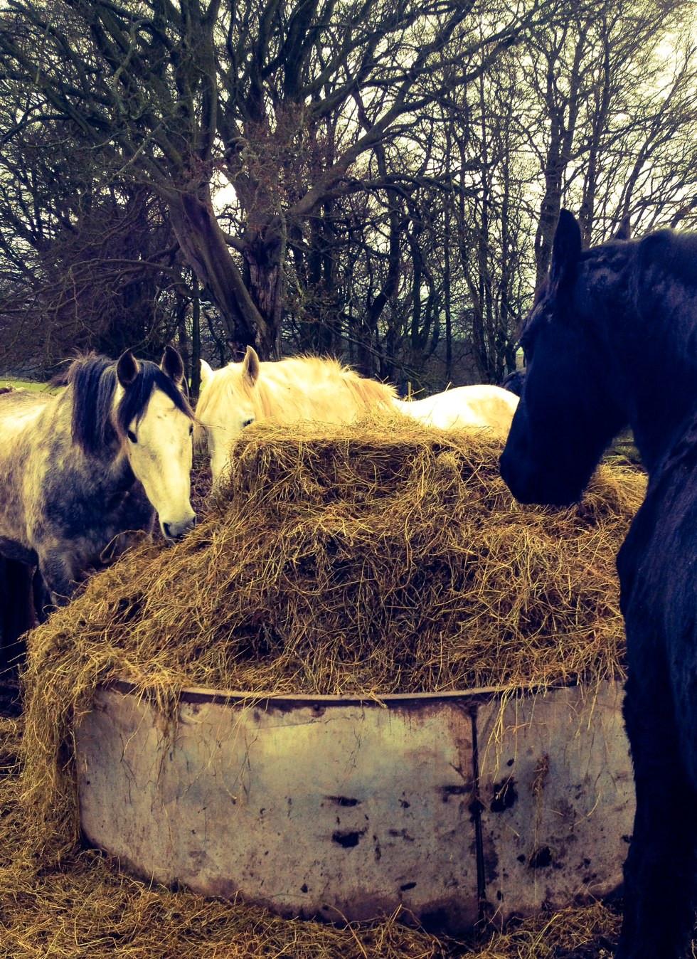 Louie, Alfie and Oedske enjoy breakfast at the haylage bar! #happyhorses @lesamisdonno