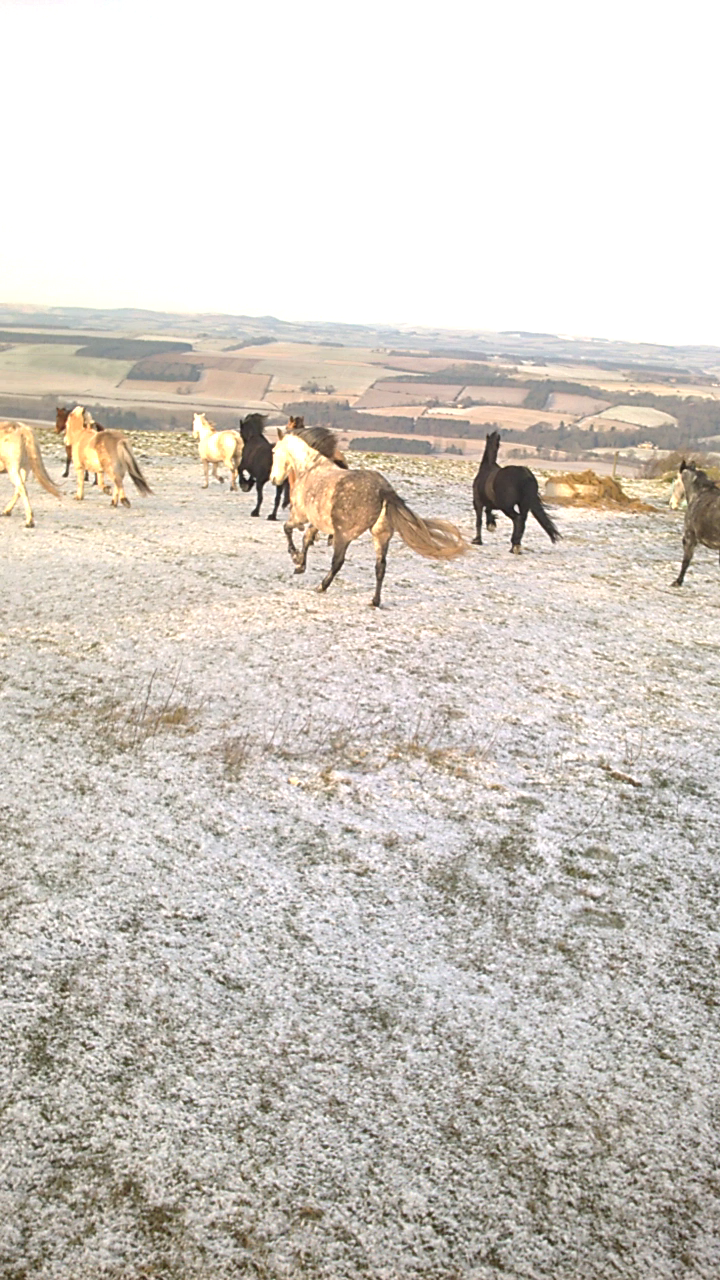 Galloping off into their new field