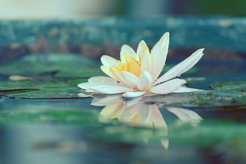 Lotus on pond.jpg