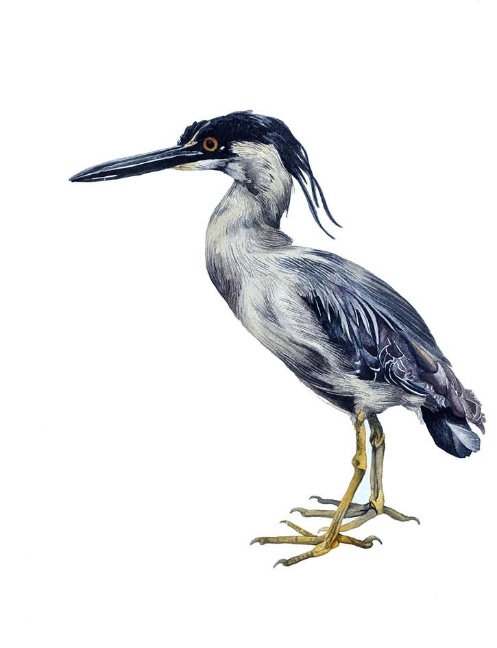 Little Blue Heron, watercolour, 2019