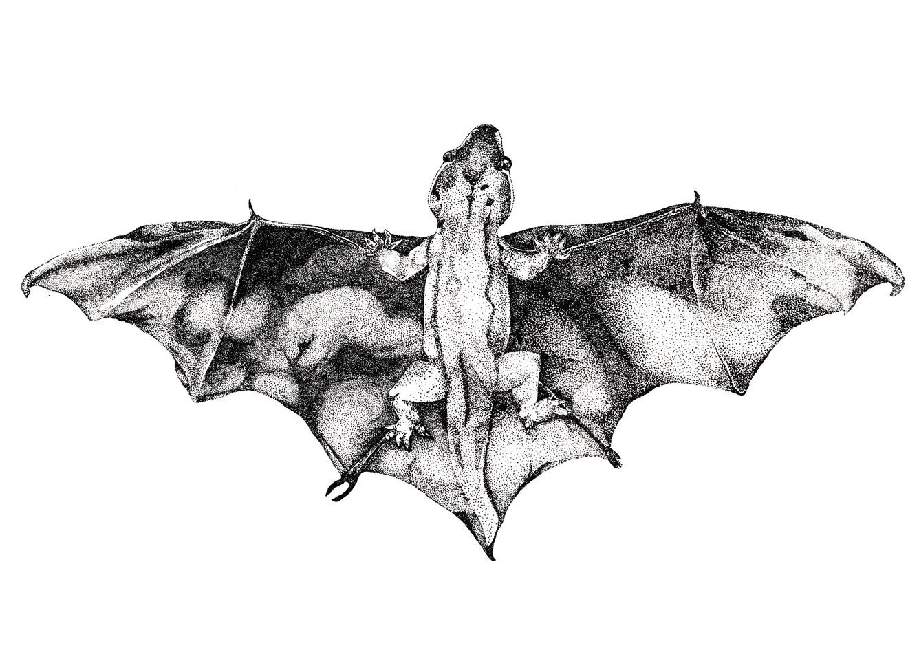Plecotus pieressi, stone lithograph, 2014