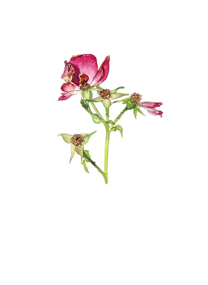Rose I, watercolour, 2019