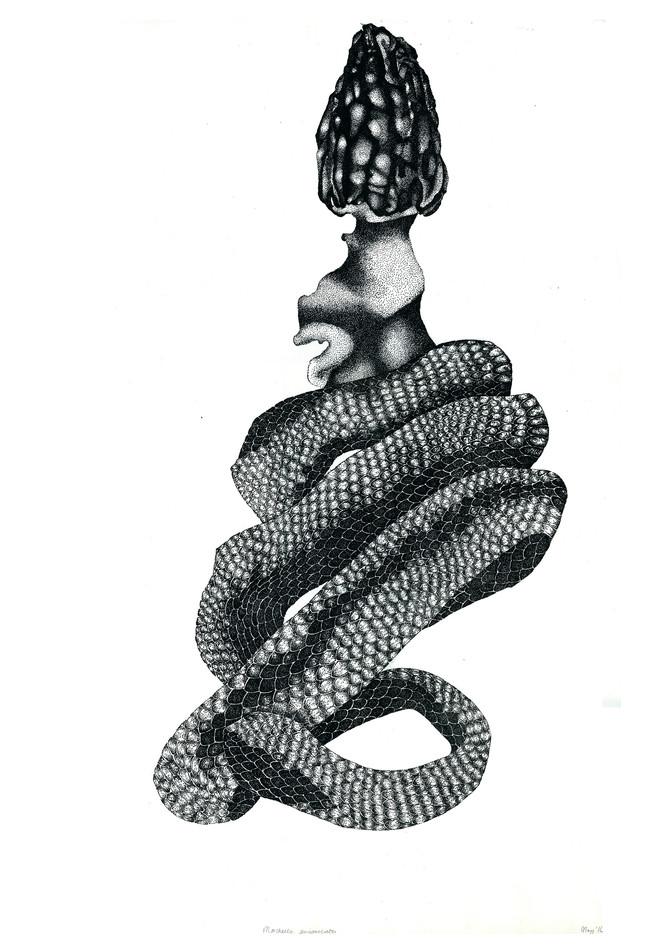 Morchella semifasciata, plate lithograph, 2014