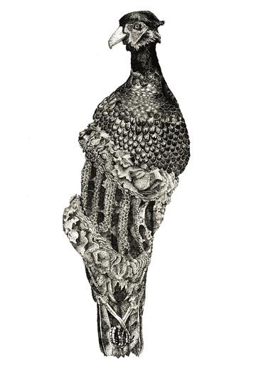 Phasianus corax