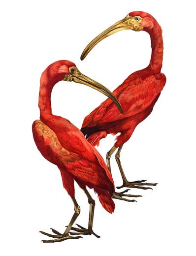 Scarlet Ibis Pair