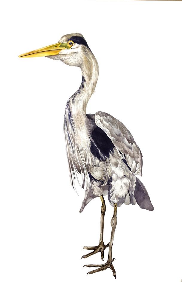Grey Heron, watercolour, 2019