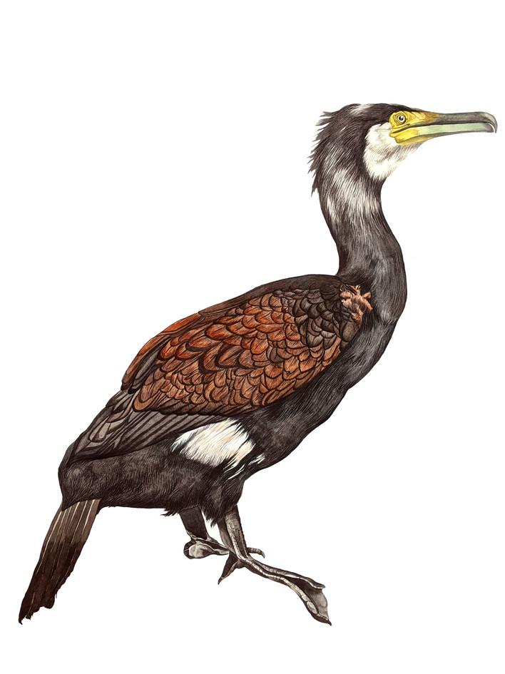 Cormorant, watercolour, 2020