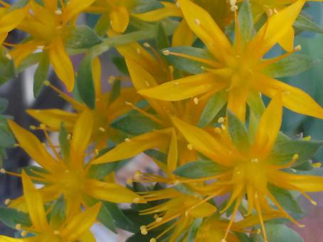 黄色い花が満開です