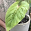 """Thumbnail: Philodendron Mamei in 7"""" concrete planter"""