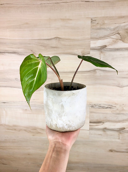 """Philodendron Gloriosum """"Round Form"""" in 5"""" cement"""