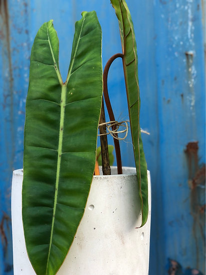 """Philodendron Billietaie in 7"""" cement"""